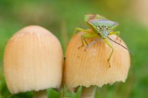 Makro einer grünen Stinkwanze