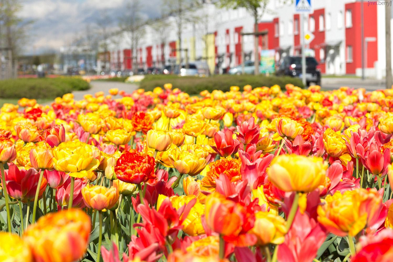 Tulpen - die bunte Seite des Frühlings