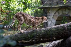 Dresdner Zoo: Gepard