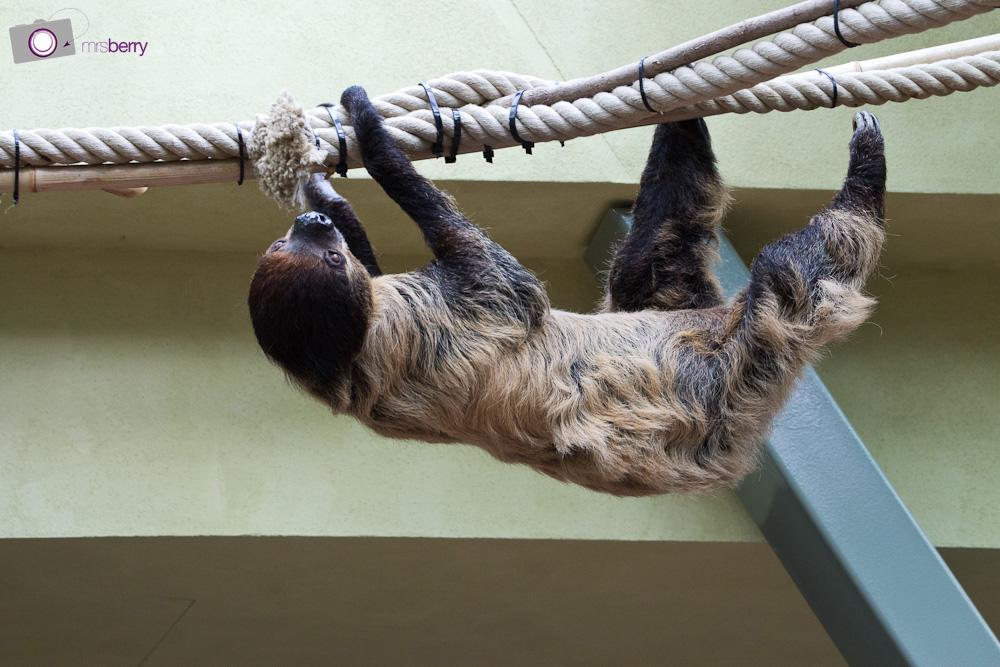 Dresdner Zoo: das Faultier im Prof. Brandes-Haus
