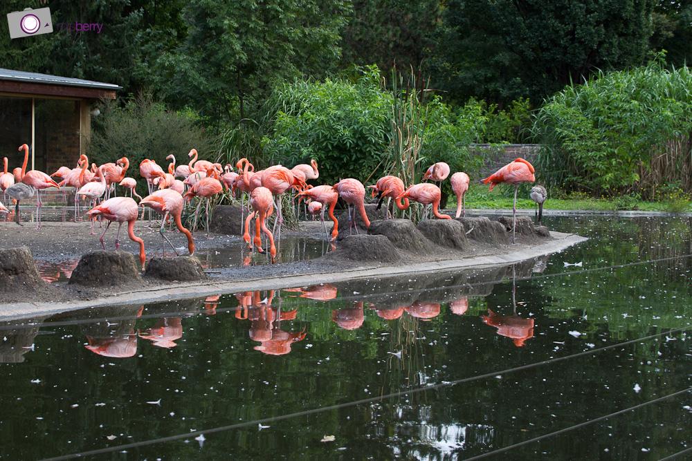 Dresdner Zoo: Kubaflamingos