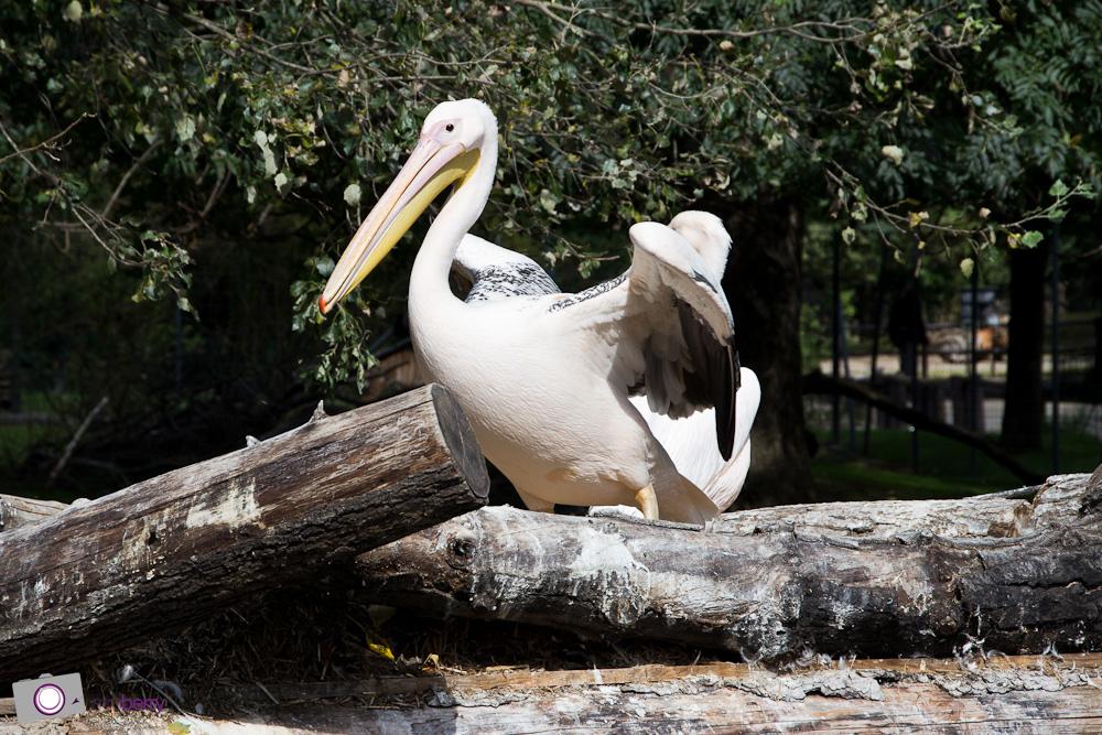 Dresdner Zoo: Pelikan