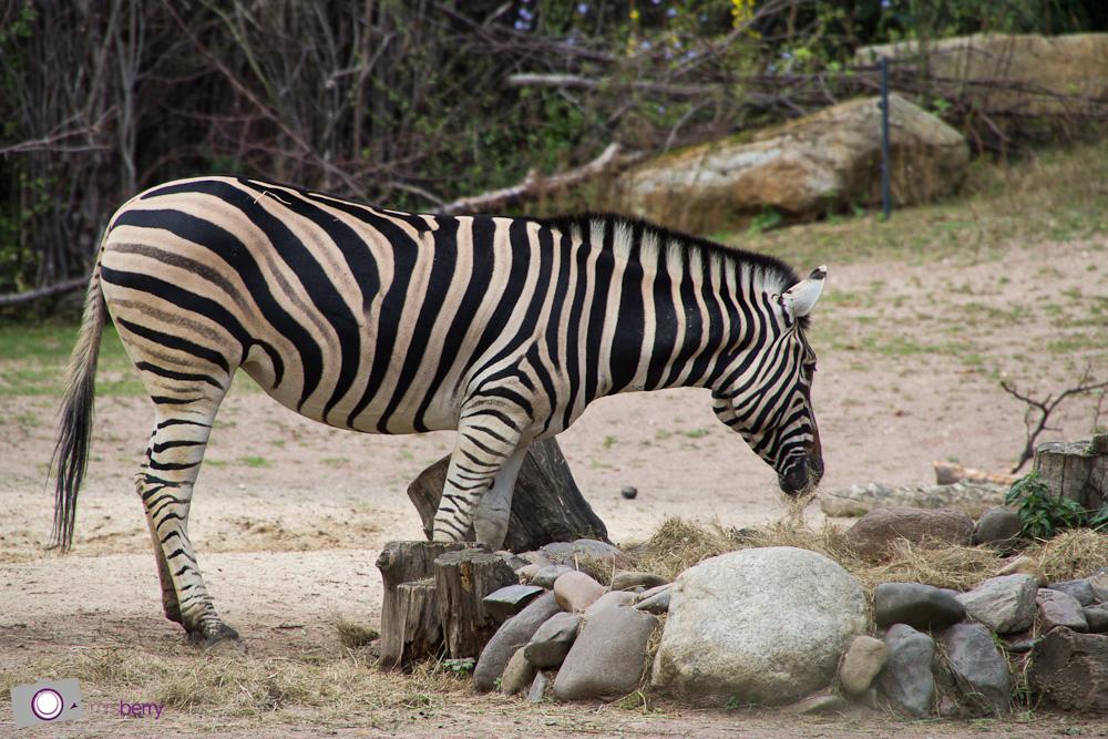 Dresdner Zoo: Zebra