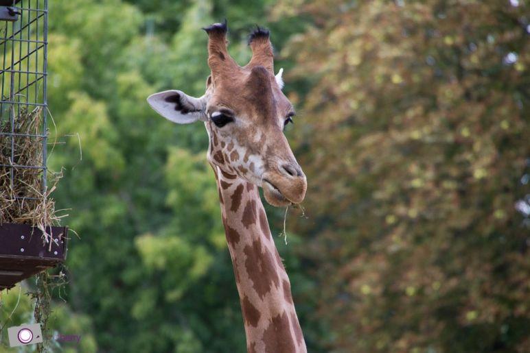 Dresdner Zoo: Giraffe