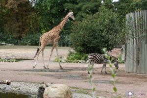 Dresdner Zoo: Giraffen und Zebra Anlage