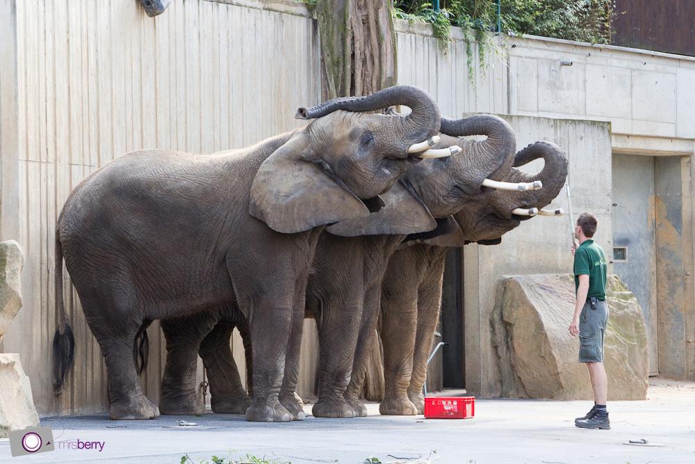 Dresdner Zoo: Elefanten