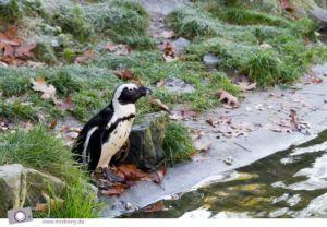 Pinguincorner in Burgers' Zoo