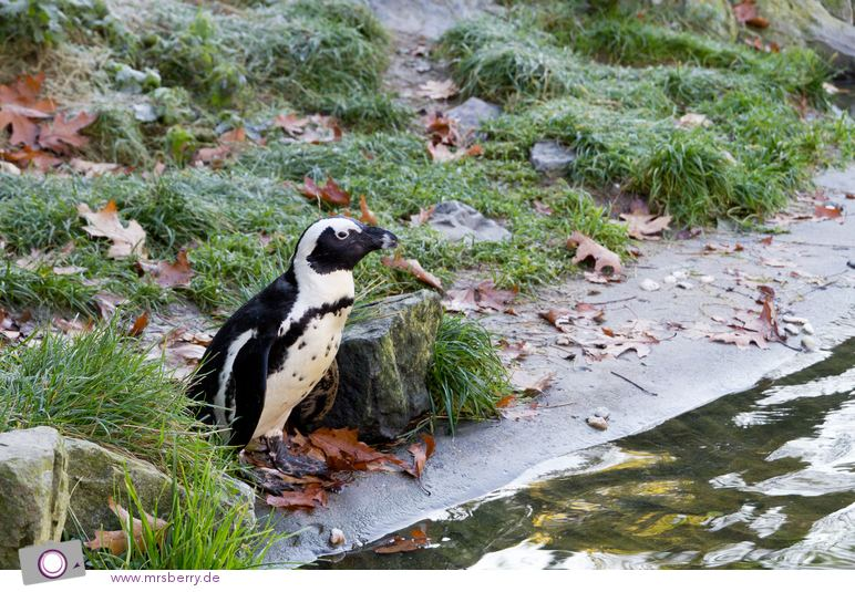 Pinguincorner in Burgers Zoo