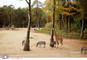 Burgers' SAFARI - Ökodisplay für Giraffen, Zebras und Nashörner