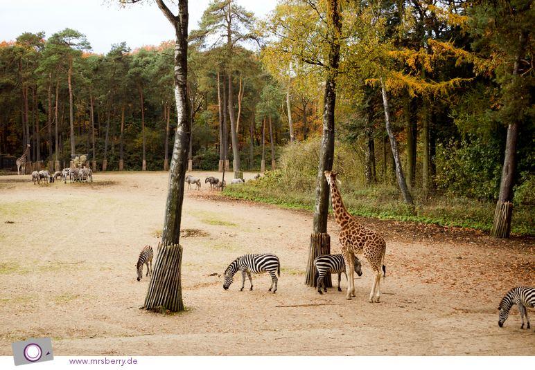 Burgers SAFARI - Ökodisplay für Giraffen, Zebras und Nashörner