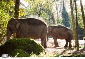 Dampfende Elefanten in Burgers' Zoo