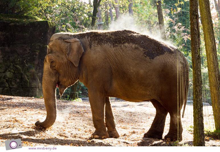 Dampfende Elefanten in Burgers Zoo
