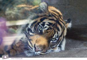 Sumatra-Tiger in Burgers' Zoo