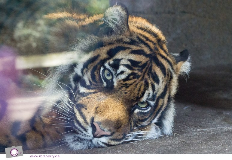 Sumatra-Tiger in Burgers Zoo