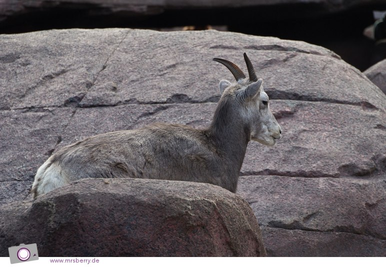 Dickhornschaf im DESERT Felsplateau von Burgers Zoo