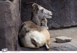 Dickhornschafe im DESERT Felsplateau von Burgers' Zoo