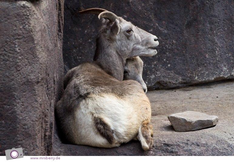 Dickhornschafe im DESERT Felsplateau von Burgers Zoo