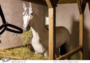 Drei Haselnüsse für Aschenbrödel: Pferd Nikolaus