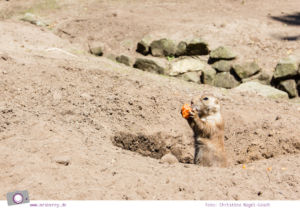 Ferien im Emsland: Tierpark Nordhorn - Präriehunde