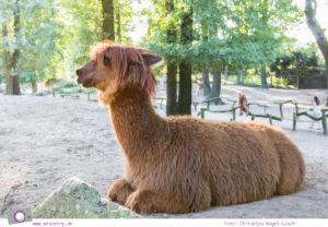 Ferien im Emsland: Tierpark Nordhorn - Alpakas