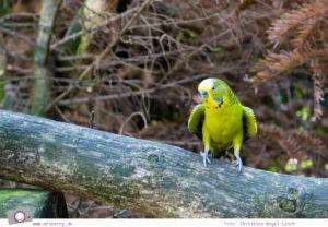 Ferien im Emsland: Tierpark Nordhorn - grüne Wellensittiche