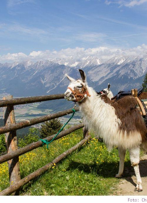 Lamatrekking am Wattenberg in Tirol