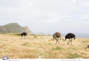 Südafrika: Strauße am Cape of Good Hope