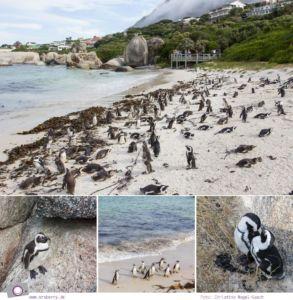 Südafrika: Pinguine von Boulders Beach