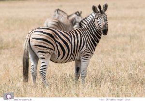 Südafrika Westkap - Zebras bei der Safari durch die Thali Thali Game Lodge