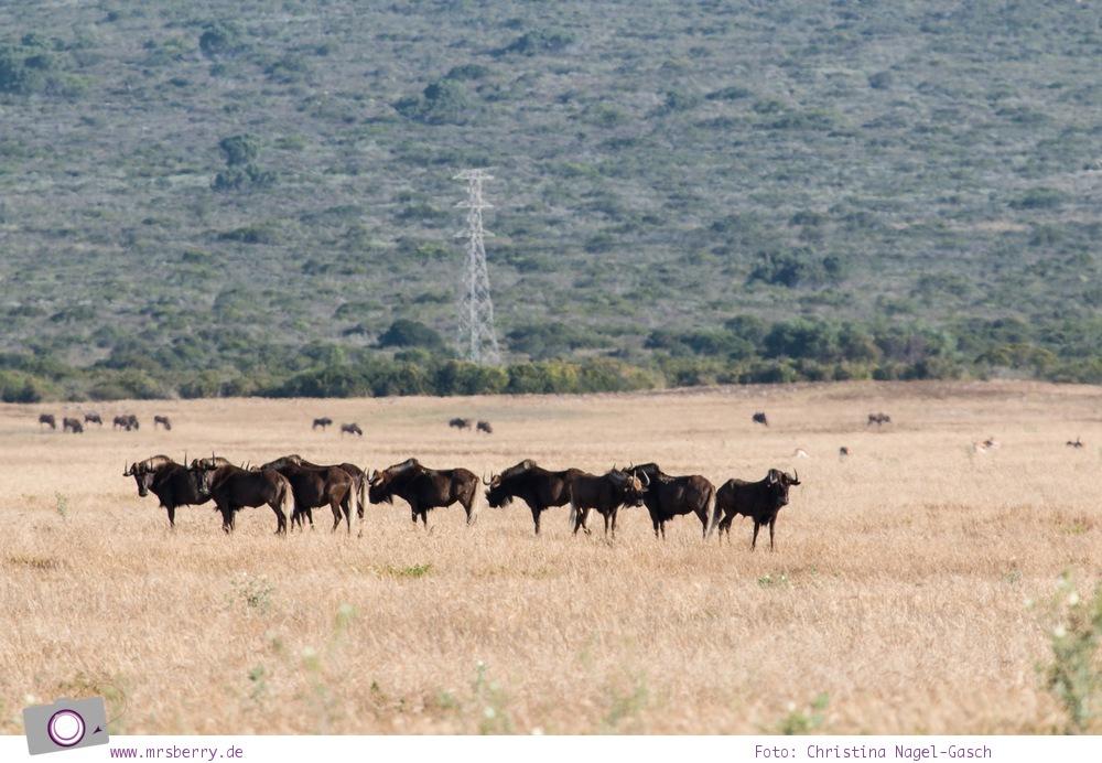 Südafrika Westkap - Black Wildebeest (Weißschwanzgnu) bei der Safari durch die Thali Thali Game Lodge