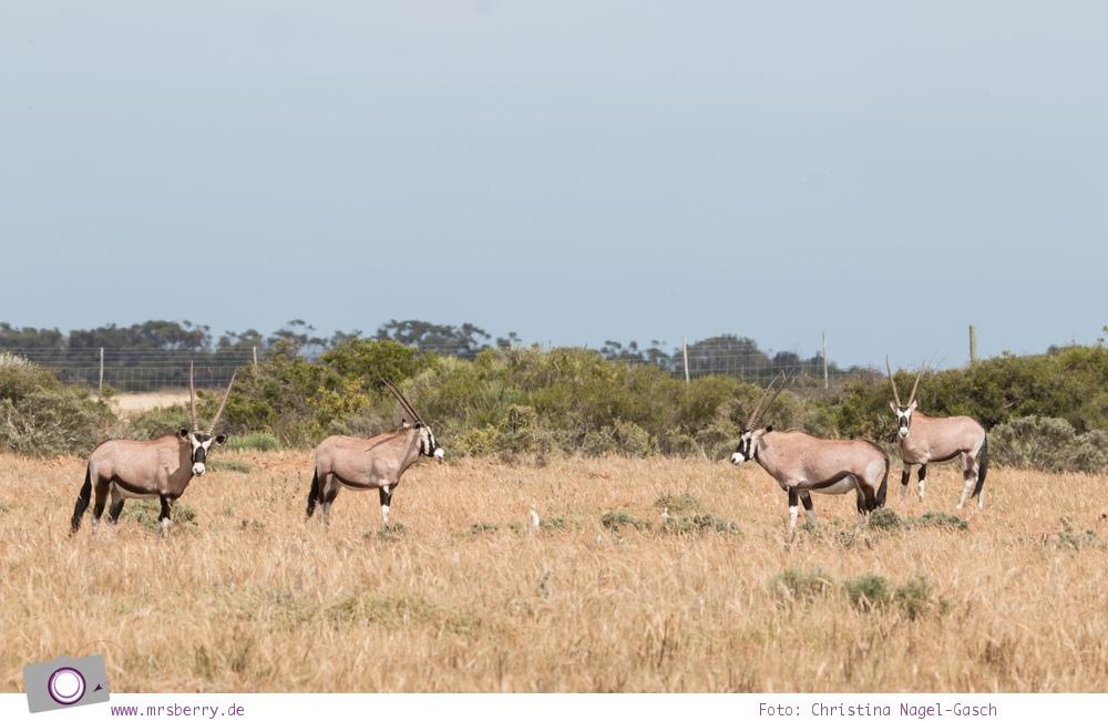 Südafrika Westkap - Oryx / Oryxantilopen bei der Safari durch die Thali Thali Game Lodge