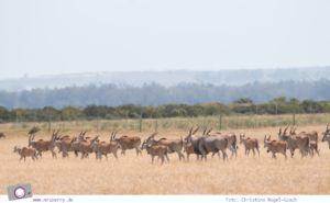 Südafrika Westkap - Eland / Elenantilope bei der Safari durch die Thali Thali Game Lodge