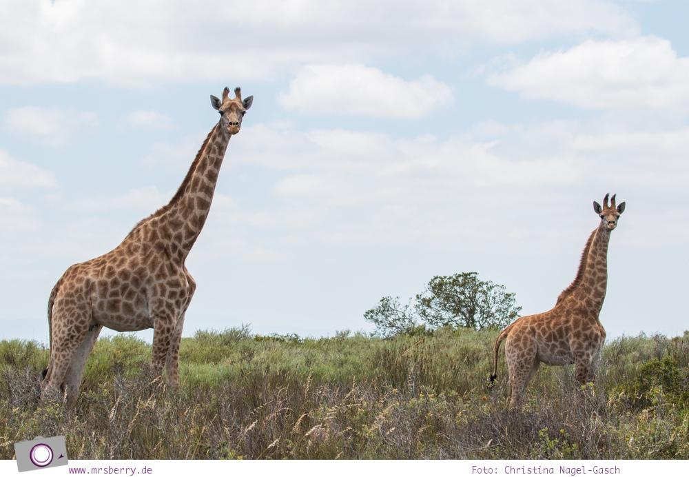Südafrika Westkap - Giraffe mit Giraffenbaby bei der Safari durch die Thali Thali Game Lodge