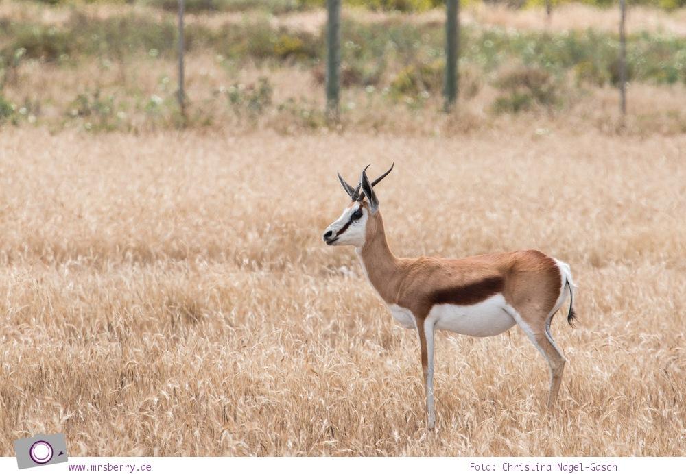 Südafrika Westkap - Springbock bei der Safari durch die Thali Thali Game Lodge