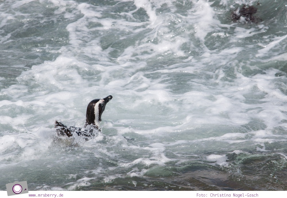Südafrika: die Pinguine bei Stony Point, Betty's Bay