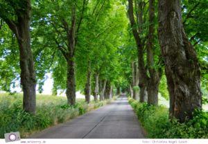 Familienurlaub auf Usedom: Naturdenkmal Lindenallee in Krummin