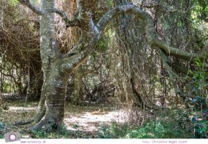 Südafrika #9: Quad Biking Ausflug vom Grootbos Private Nature Reserve - Herzbaum