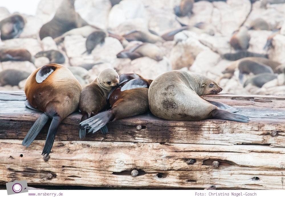 Südafrika #9: Whale Watching Ausflug vom Grootbos Private Nature Reserve - Robben an Dyer Island