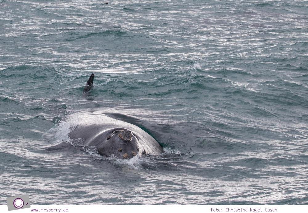 Südafrika #9: Whale Watching Ausflug vom Grootbos Private Nature Reserve - Südlicher Glattwal