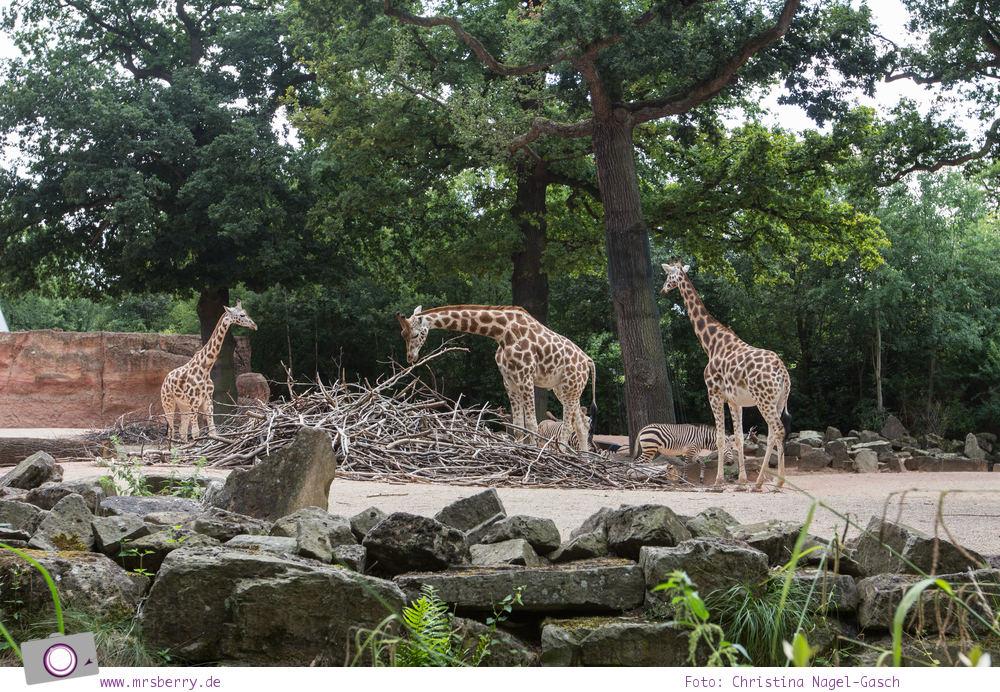 Erlebnis-Zoo Hannover: MrsBerry's Top 5 + 1 Attraktionen - Sambesi Themenwelt mit Giraffen