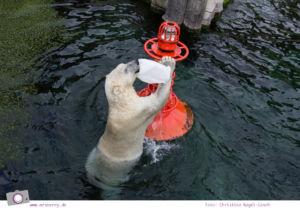 Erlebnis-Zoo Hannover: MrsBerry's Top 5 + 1 Attraktionen - Yukon Bay Themenwelt mit Eisbären