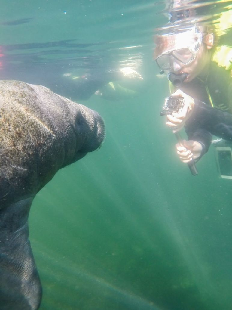 Florida Rundreise: Schwimmen mit Seekühen (Manatees) in der Kings Bay in Crystal River - Zuhause der Seekühe