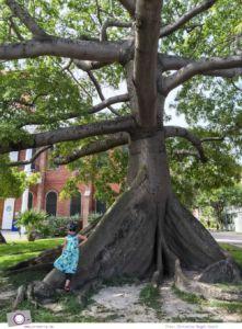 Florida Rundreise: Florida Keys - Key West per Fahrrad entdecken - Kapok Tree (Kapokbaum)