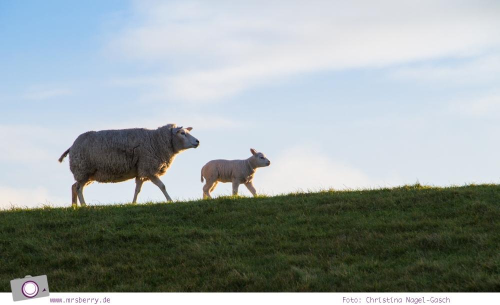 Urlaub auf Texel mit Kind und Hund - Schafe sind allgegenwärt - das Texel Schaf