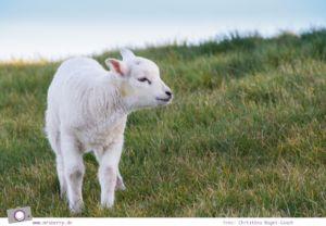 Urlaub auf Texel mit Kind und Hund - Schafe sind allgegenwärtig - das Texel Schaf