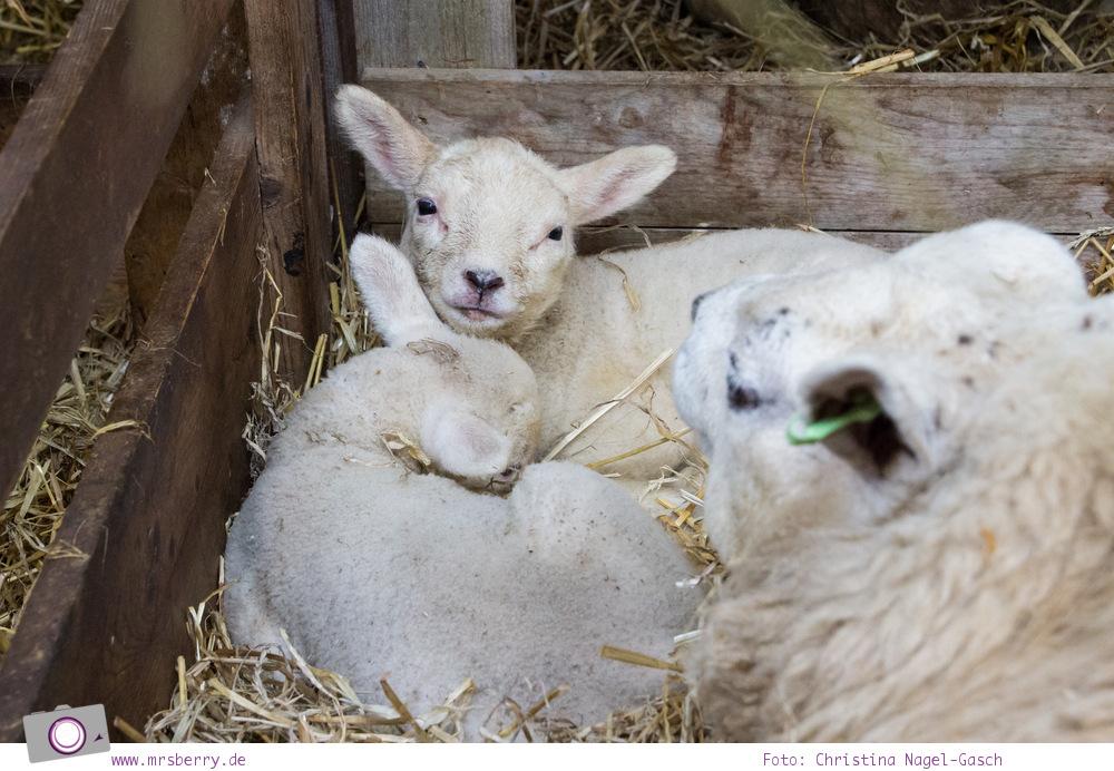 Urlaub auf Texel mit Kind und Hund -  Schafe sind allgegenwärtig - das Texel Schaf im Schafbauernhof (Schapenboerderij)