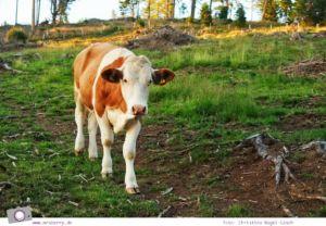 Urlaub Zirbitzkogel in der Steiermark - Wandern mit Kind und Hund | Gefahr durch Kühe beim Wandern mit Hunden