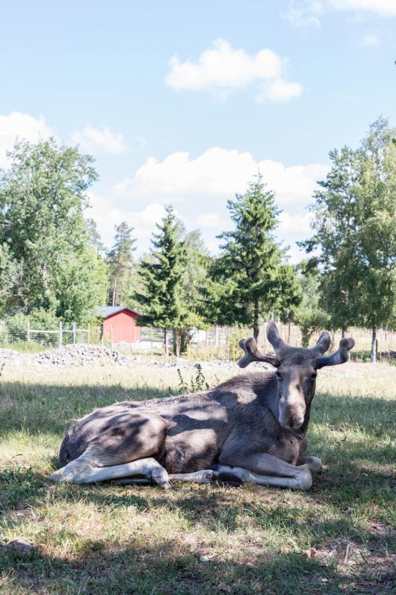 Skandinavien Roadtrip: 3 coole Familienspots in Smaland, Schweden - Im Grönåsens Elchpark den König des Waldes treffen.