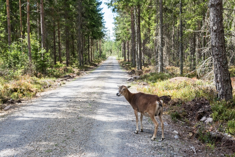 Skandinavien Roadtrip: 3 coole Familienspots in Smaland, Schweden - Im Kosta Safari-Park mit dem Auto durch weitläufige Gehege fahren und Wildtiere treffen.